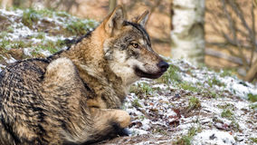 Lying female Scandinavian gray wolf in winter coat Royalty Free Stock Photo