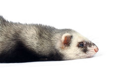 Lying ferret Royalty Free Stock Photos