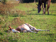 Lying foal Stock Photos