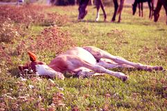 Lying foal Stock Photo