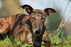 Lying Galgo Espanol Royalty Free Stock Image