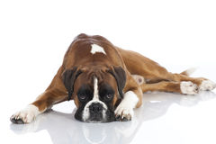 Lying german boxer Royalty Free Stock Photography