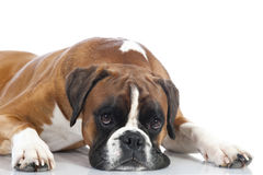 Lying german boxer Stock Photo