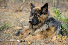 Lying German Shepherd dog. German Shepherd Dog has a rest. Animal against nature blur background. This is longhair variety of German Shepherd Dog Stock Photography