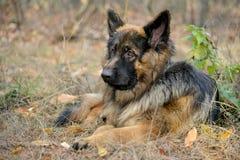 Lying German Shepherd dog Stock Photography