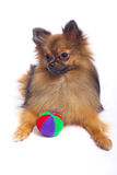 Lying German Spitz in with a color ball Stock Photos