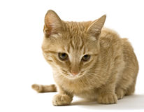 Lying ginger cat Royalty Free Stock Images