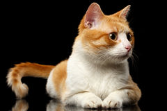 Lying Ginger Cat Surprised Looking at Right on Black Mirror. Background Stock Photo