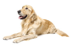 Lying Golden Retriever. Golden Retriever Lying Down, photographer on a white background royalty free stock photo