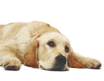 Lying Golden Retriever. Dogs and cats in the most different situations and positions Stock Photos