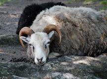 Lying Gotland sheep Royalty Free Stock Images