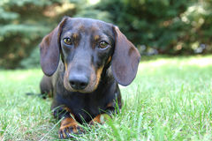 Lying in the grass. A daschund dog lying in the grass Stock Images