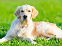 Lying on the green grass golden retriever Royalty Free Stock Image
