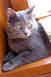 Lying grey cat Royalty Free Stock Photos