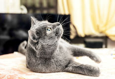 Lying grey cat looking up Stock Images