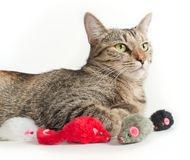 Lying grey cat with toy mice Royalty Free Stock Image