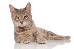 Lying grey metis cat with yellow eyes. Cute lying grey metis cat with yellow eyes on white background royalty free stock photo