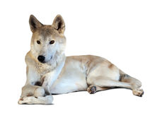 Lying grey wolf over white Royalty Free Stock Photo