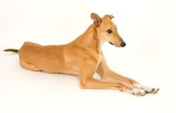 Lying Greyhound. A tan greyhound lying down against a white background stock image
