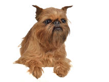 Lying griffon dog above white banner Stock Photos