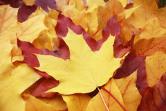 Lying on the ground maple leaves in autumn. Yellow  maple leaf on top of a red and surrounded by yellow leaves Stock Photos