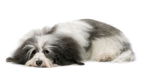 Lying Havanese dog Royalty Free Stock Image
