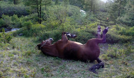 Lying horse in Altay taiga. A horse with its hoofs up relaxing in taiga forest, Altay Royalty Free Stock Image
