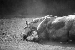 Lying horse Royalty Free Stock Image