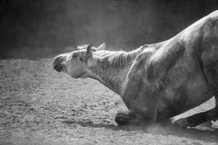Lying horse Stock Photography