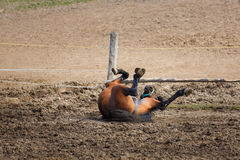 The lying horse Stock Photography