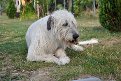 Lying Irish Wolfhound dog eats bone on the grass. The dog gnaws a bone in the garden on the lawn Stock Photography