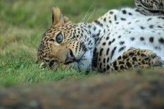 Lying javan leopard Stock Photos