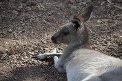 A lying kangaroo stock image