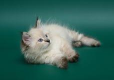 Lying kitten. A kitten of breed the Neva Maskaradnaja, lying on a green background Stock Images