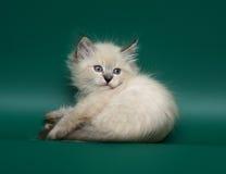 Lying kitten. A kitten of breed the Neva Maskaradnaja, lying on a green background Royalty Free Stock Image