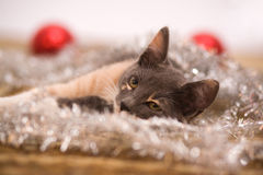 Lying kitten on the carpet Royalty Free Stock Images
