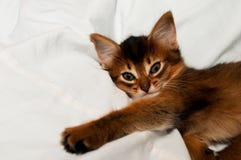 Lying kitten portrait. Lying somali kitten portrait two month on white bed stock photography