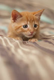 Lying kitten watching. Ready for the play, vertical version stock images