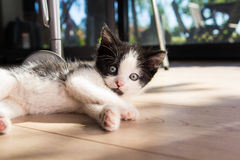 Lying kitten Stock Images