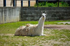 Lying lama Royalty Free Stock Photo