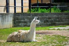 Lying lama. Lama living in captivity in a zoo. View of the lying llama Stock Photos