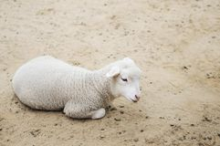 Lying lamb Stock Image