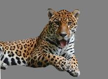 Lying leopard Royalty Free Stock Photos