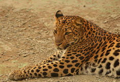 Lying leopard Stock Images