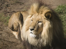 Lying Lion Royalty Free Stock Photo