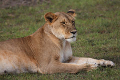 Lying lion Stock Images