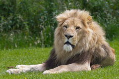 Lying Lion Royalty Free Stock Image