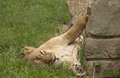 Lying lioness. The lion is one of the four big cats in the genus Panthera and a member of the family Felidae Royalty Free Stock Photo