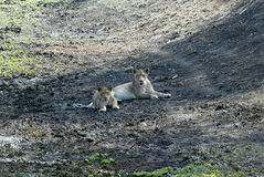 Lying lioness, Gorongosa National Park, Mozambique Stock Photos