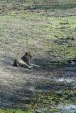 Lying lioness, Gorongosa National Park, Mozambique Stock Photo